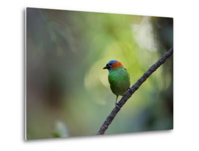A Colorful Red-Necked Tanager, Tangara Cyanocephala, Sits on a Branch-Alex Saberi-Metal Print