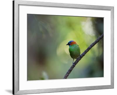 A Colorful Red-Necked Tanager, Tangara Cyanocephala, Sits on a Branch-Alex Saberi-Framed Photographic Print