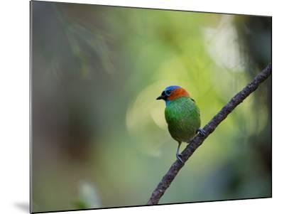 A Colorful Red-Necked Tanager, Tangara Cyanocephala, Sits on a Branch-Alex Saberi-Mounted Photographic Print