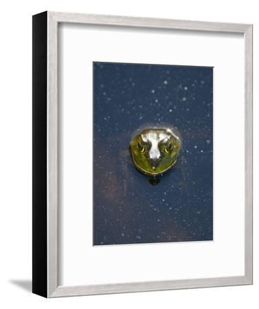 A Bullfrog, Rana Catesbeiana, Sticks its Head Out of the Water-Paul Colangelo-Framed Photographic Print