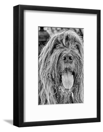 Portrait of a Briard Dog in Central Park-Kike Calvo-Framed Photographic Print