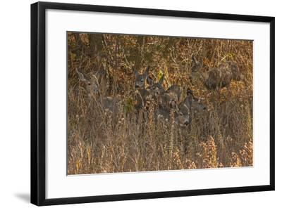 Mule Deer, Odocoileus Hemionus, are Almost Camouflaged as They Watch for Predators-Gordon Wiltsie-Framed Photographic Print