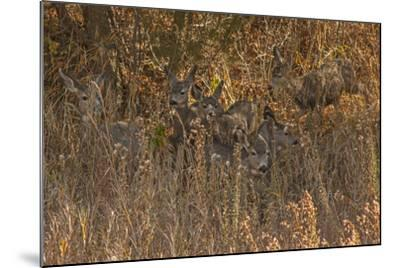 Mule Deer, Odocoileus Hemionus, are Almost Camouflaged as They Watch for Predators-Gordon Wiltsie-Mounted Photographic Print