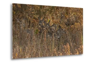 Mule Deer, Odocoileus Hemionus, are Almost Camouflaged as They Watch for Predators-Gordon Wiltsie-Metal Print