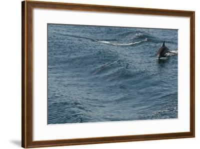 A Long-Beaked Common Dolphin, Delphinus Capensis, Leaps in the Waters of the Sea of Cortez-Kike Calvo-Framed Photographic Print