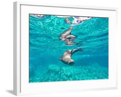 A California Sea Lion, Zalophus Californianus, Swims in Waters Off Los Islotes-Kike Calvo-Framed Photographic Print