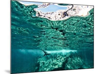 A California Sea Lion, Zalophus Californianus, Swims in Waters Off Los Islotes-Kike Calvo-Mounted Photographic Print