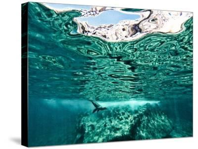A California Sea Lion, Zalophus Californianus, Swims in Waters Off Los Islotes-Kike Calvo-Stretched Canvas Print