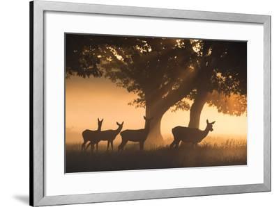 Red Deer, Cervus Elaphus, Graze in the Early Morning Mists of Richmond Park-Alex Saberi-Framed Photographic Print