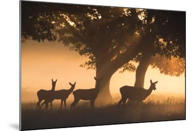 Red Deer, Cervus Elaphus, Graze in the Early Morning Mists of Richmond Park-Alex Saberi-Mounted Photographic Print