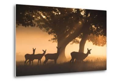 Red Deer, Cervus Elaphus, Graze in the Early Morning Mists of Richmond Park-Alex Saberi-Metal Print