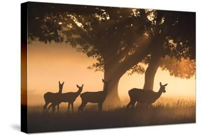 Red Deer, Cervus Elaphus, Graze in the Early Morning Mists of Richmond Park-Alex Saberi-Stretched Canvas Print