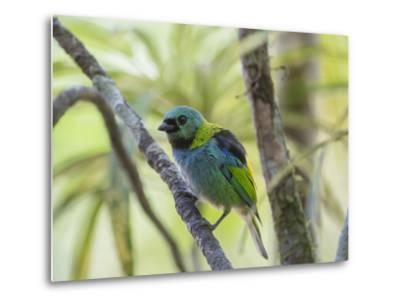 A Green-Headed Tanager in a Tropical Environment in Ubatuba, Brazil-Alex Saberi-Metal Print