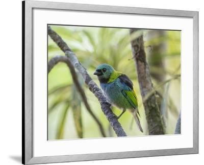 A Green-Headed Tanager in a Tropical Environment in Ubatuba, Brazil-Alex Saberi-Framed Photographic Print