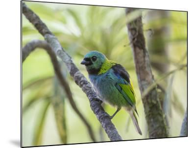 A Green-Headed Tanager in a Tropical Environment in Ubatuba, Brazil-Alex Saberi-Mounted Photographic Print