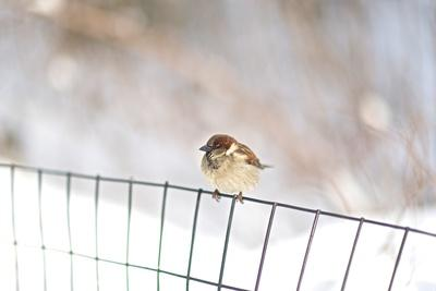 A Sparrow Rests on a Fence in Central Park in the Aftermath of Winter Storm Juno-Kike Calvo-Framed Photographic Print