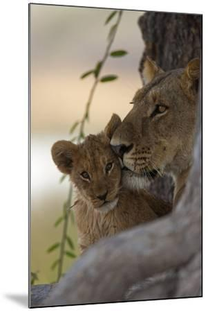 A Lioness Nuzzling Her Cub-Beverly Joubert-Mounted Photographic Print