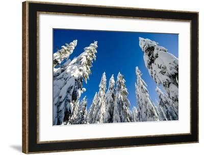 Snow-Laden Trees on Seymour Mountain-Paul Colangelo-Framed Photographic Print