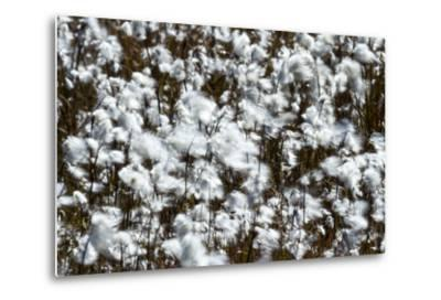 Billowing Fluffy Cottongrass Seed Heads are Covered in a Fluffy Mass of Cotton-Jason Edwards-Metal Print