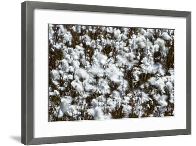 Billowing Fluffy Cottongrass Seed Heads are Covered in a Fluffy Mass of Cotton-Jason Edwards-Framed Photographic Print
