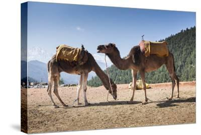 Camels on the Side of a Road in Morocco-Richard Nowitz-Stretched Canvas Print
