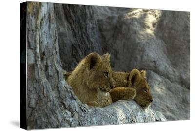 Two Lion Cubs Resting on Exposed Tree Roots-Beverly Joubert-Stretched Canvas Print