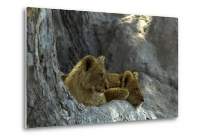 Two Lion Cubs Resting on Exposed Tree Roots-Beverly Joubert-Metal Print
