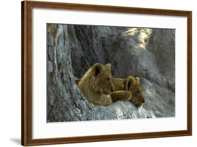 Two Lion Cubs Resting on Exposed Tree Roots-Beverly Joubert-Framed Photographic Print