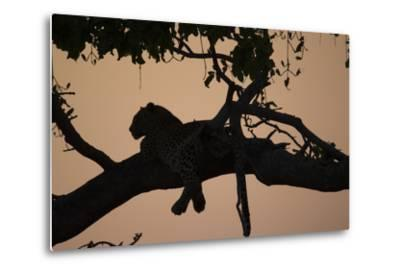 A Silhouetted Leopard Lying in a Tree at Sunset-Beverly Joubert-Metal Print