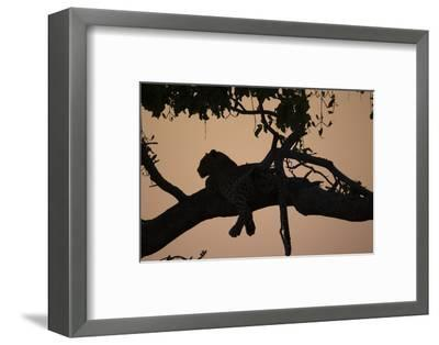 A Silhouetted Leopard Lying in a Tree at Sunset-Beverly Joubert-Framed Photographic Print