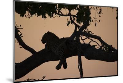 A Silhouetted Leopard Lying in a Tree at Sunset-Beverly Joubert-Mounted Photographic Print