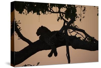 A Silhouetted Leopard Lying in a Tree at Sunset-Beverly Joubert-Stretched Canvas Print
