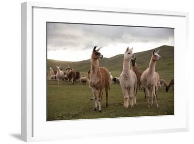 Llamas and Alpacas Grazing in the Mountains of Peru-Erika Skogg-Framed Photographic Print