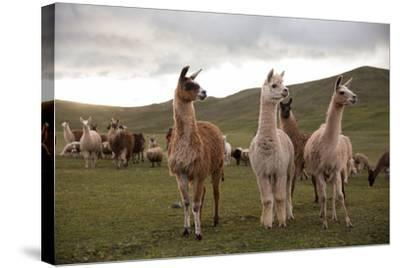Llamas and Alpacas Grazing in the Mountains of Peru-Erika Skogg-Stretched Canvas Print