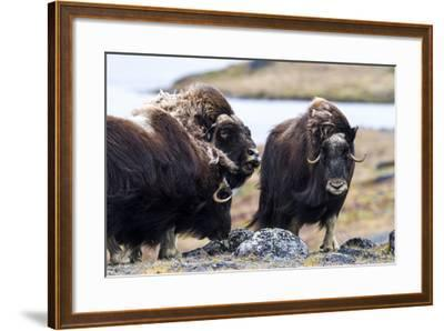 A Male Musk Ox Scenting a Female to See If She Is in Oestrus for Mating-Jason Edwards-Framed Photographic Print
