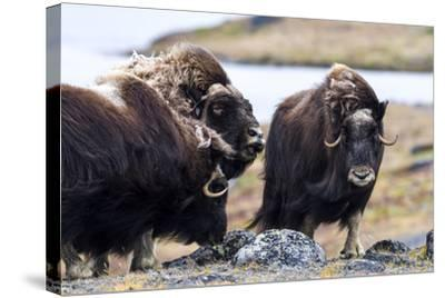 A Male Musk Ox Scenting a Female to See If She Is in Oestrus for Mating-Jason Edwards-Stretched Canvas Print
