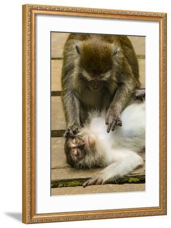 Long-Tailed or Crab-Eating Macaques, Macaca Fascicularis, Grooming-Ralph Lee Hopkins-Framed Photographic Print