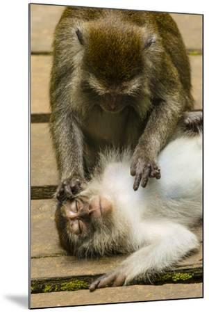 Long-Tailed or Crab-Eating Macaques, Macaca Fascicularis, Grooming-Ralph Lee Hopkins-Mounted Photographic Print
