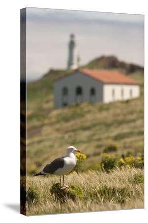 A Western Gull on Anacapa Island in Channel Islands National Park-Phil Schermeister-Stretched Canvas Print
