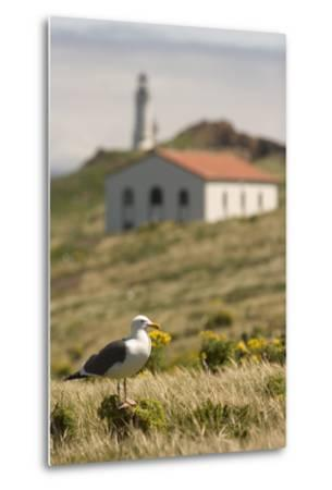 A Western Gull on Anacapa Island in Channel Islands National Park-Phil Schermeister-Metal Print