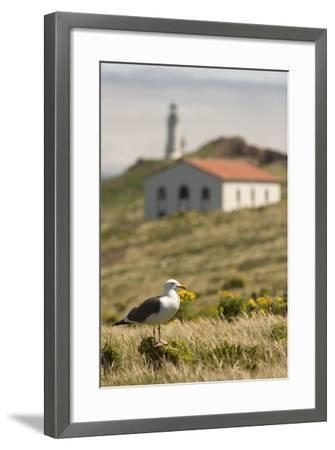 A Western Gull on Anacapa Island in Channel Islands National Park-Phil Schermeister-Framed Photographic Print