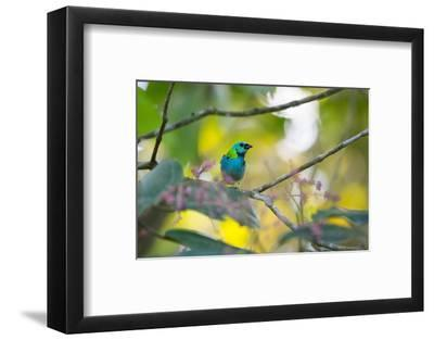 A Green-Headed Tanager Sitting on a Branch with Berries-Alex Saberi-Framed Photographic Print