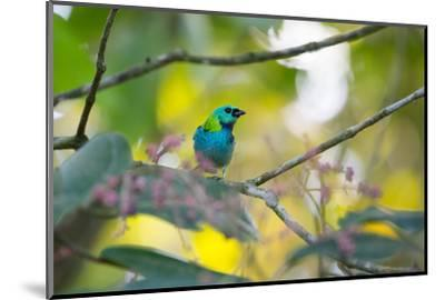 A Green-Headed Tanager Sitting on a Branch with Berries-Alex Saberi-Mounted Photographic Print
