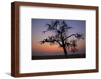 A Leopard Sitting in a Tree at Sunset-Beverly Joubert-Framed Photographic Print