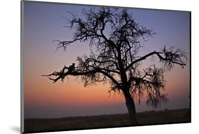 A Leopard Sitting in a Tree at Sunset-Beverly Joubert-Mounted Photographic Print