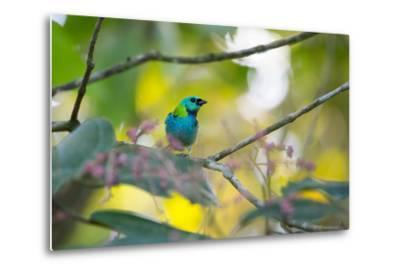A Green-Headed Tanager Sitting on a Branch with Berries-Alex Saberi-Metal Print