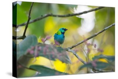 A Green-Headed Tanager Sitting on a Branch with Berries-Alex Saberi-Stretched Canvas Print