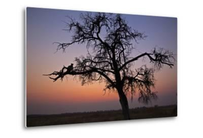 A Leopard Sitting in a Tree at Sunset-Beverly Joubert-Metal Print