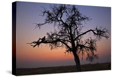 A Leopard Sitting in a Tree at Sunset-Beverly Joubert-Stretched Canvas Print