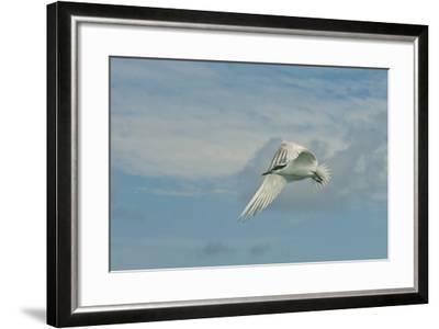 A Tern Flies in the Gracias a Dios Province, Honduras-Cristina Mittermeier-Framed Photographic Print